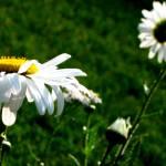 """""""Daisy, Daisy"""" by AprilO"""