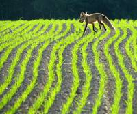 Running Red Fox on a sunlit grass on  the farm