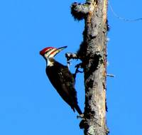 Pileated Wood Pecker
