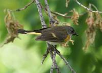 American red-start