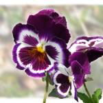 """Purple Pansies"" by GiorgettaMcRee"