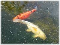 Koi Playing