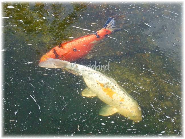 Landscape koi fish artwork for sale on fine art prints for Playing koi
