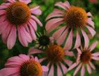 Lots of Coneflowers - Echinacea