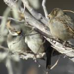 """""""Sparrow Fest"""" by anniepics"""
