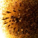 """""""Sunburst"""" by Kiwimunted"""