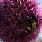 """""""Queen Wasp on Purple Flower"""" by madworld"""