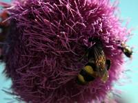 Queen Wasp on Purple Flower