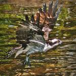 """Osprey In Flight"" by bavosiphotoart"