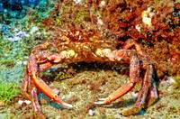 Atlantic Arrow Crab