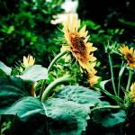 """Sunflower Bee"" by EricaJoy"