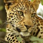 """Leopard observing"" by MichaelPoliza"