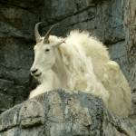 """Mountain Goat"" by WendaToews"