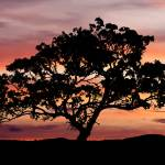"""""""Sunset Tree"""" by PaulHuchton"""