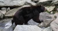 Black Bear-Blue Ridge Mountains