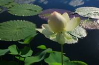 Tall Elegant  Water Blossom in Lake