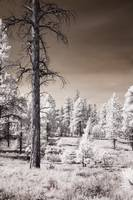 Bryce Canyon Trees Infrared