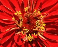 Red Zinnia in its Prime
