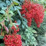 """Nandina Berries"" by Charlsiesprewell"