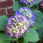 """Favorite Hydrangea"" by Charlsiesprewell"