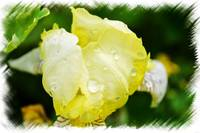 Delicate Yellow Flower With Dew Drops