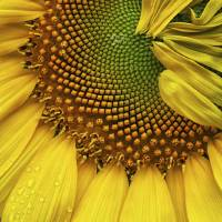 Sunflower Details by Jim Crotty