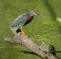 Green Heron & Turtle