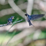 """Tree Swallows - Mother & Baby"" by WildAboutNaturePhotography"