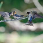 """Tree Swallows - Mother & Babies"" by WildAboutNaturePhotography"