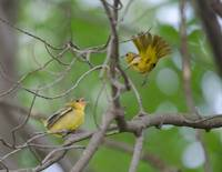 Orchard Orioles - Mother & Baby