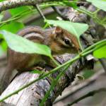 """Chipmunk"" by WildAboutNaturePhotography"