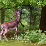 """""""Blackbuck antelope"""" by Gaschwald"""