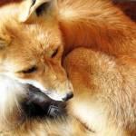 """""""Fox"""" by zacharyherrera"""