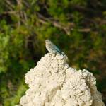 """Badlands Female Mountain Bluebird"" by DryFlyPhotograhy"