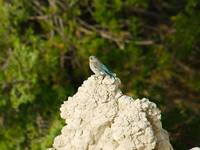 Badlands Female Mountain Bluebird