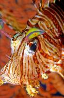 Lion Fish Portrait