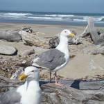 Seagulls Ocean Beach Driftwood art prints