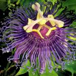 """Maypop Passion"" by anteaterjeter"
