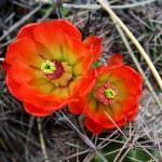 """""""Vibrant Desert Flowers"""" by ksummers"""