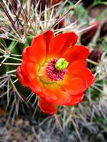 Colorful Cactus Flower