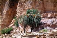 Wadi Rum's Palm Tree