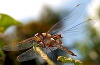 dragon-fly-003