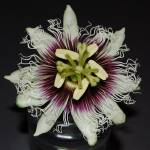 """Passion-flower-002"" by BiGPaPa"