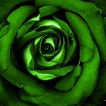 """Watercolor Rose Green"" by SouthIdahoPhoto"