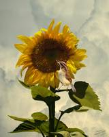 Sunflower and Carolina Wren