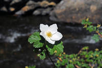 White Wild Rose in Big Thompson Canyon