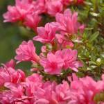 """Pink Azalea"" by DSherrilldesign"