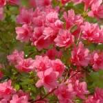 """""""Pink Azalea ll"""" by DSherrilldesign"""
