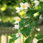 """""""White Flower Shrub/White Fence"""" by DSherrilldesign"""
