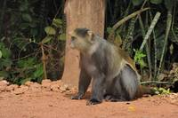 Blue (Samango) monkey